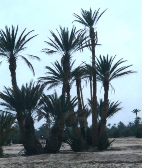 La palmeraie du Tafilalet