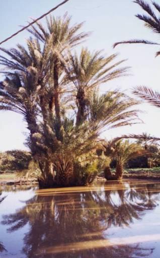 Eté : après l'orage dans la palmeraie inondée