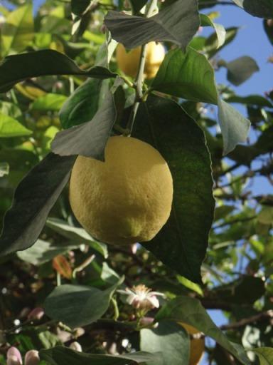 citron, fruit et fleurs