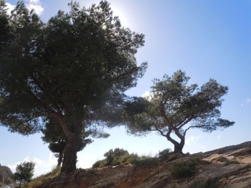les pins torturés par le vent