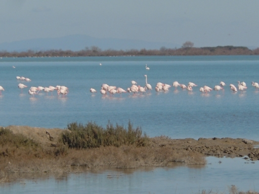 Flamands roses non loin de Cacharel