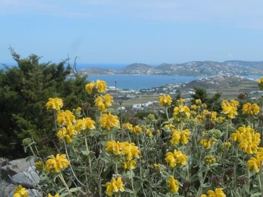 Baie de Parikia vue de la montagne. Sauge de Jérusalem au 1er plan