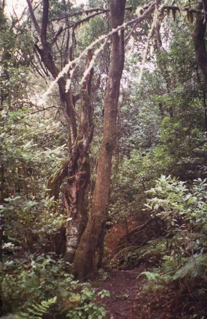 laurasylva ou Monteverde