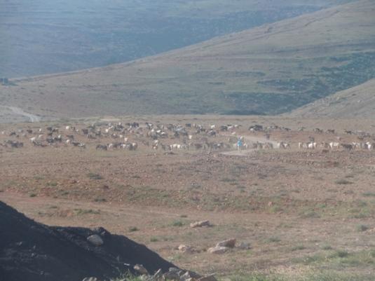 promenade avec des chèvres
