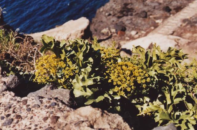 lechuga de mar Astydamia latifolia