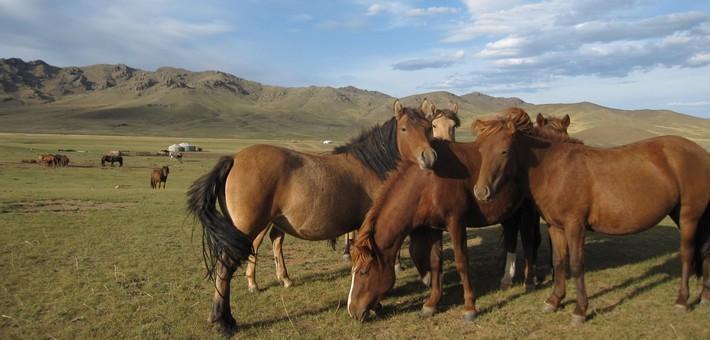Chevaux_en_Mongolie