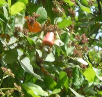 Anacardier : la fleur, la pomme et la graine