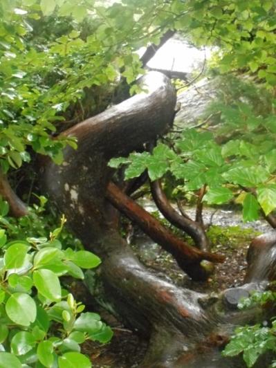 troncs contournés luisants sous la pluie