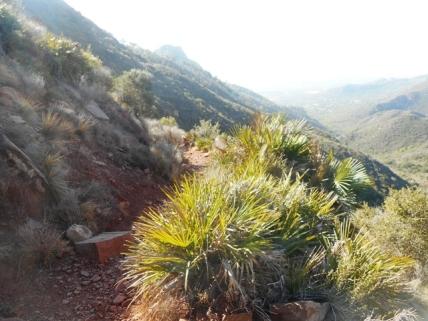 Le sentier vers le château au premier plan chamaeropsis humilis palmito